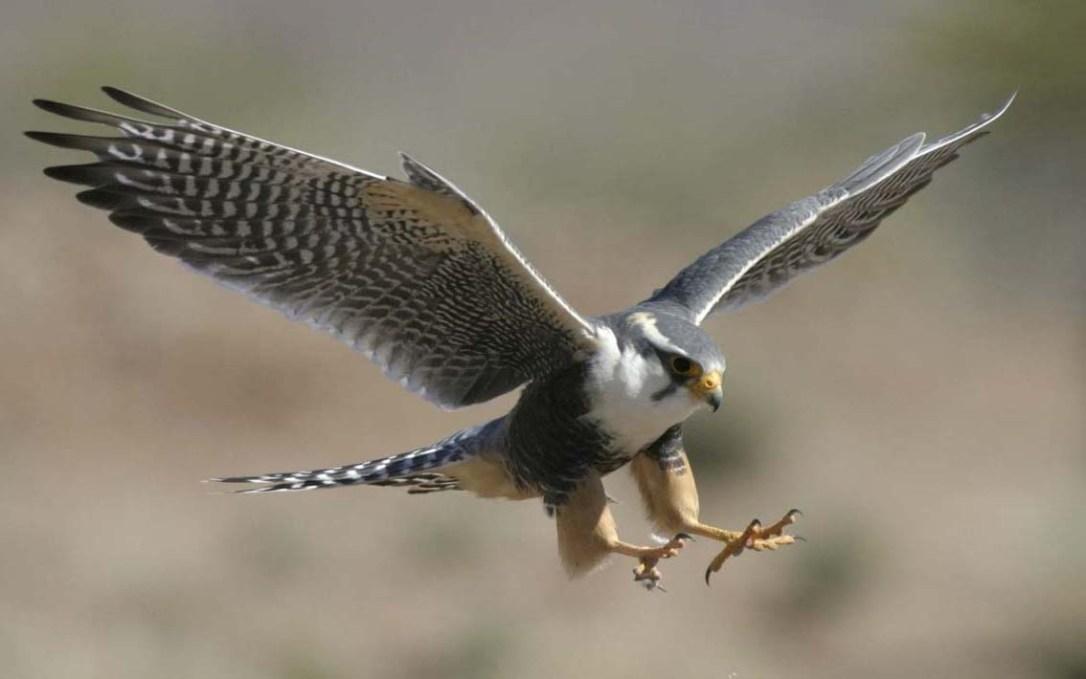 falcao-peregrino-voando